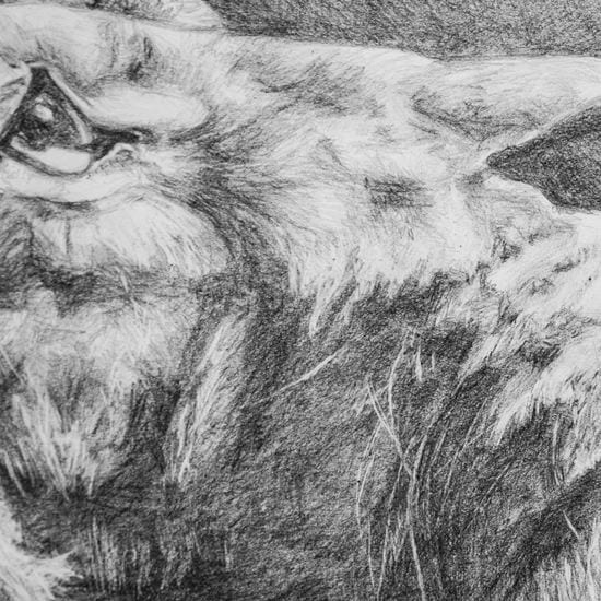 lion-heart-pencil-drawing-sacramento